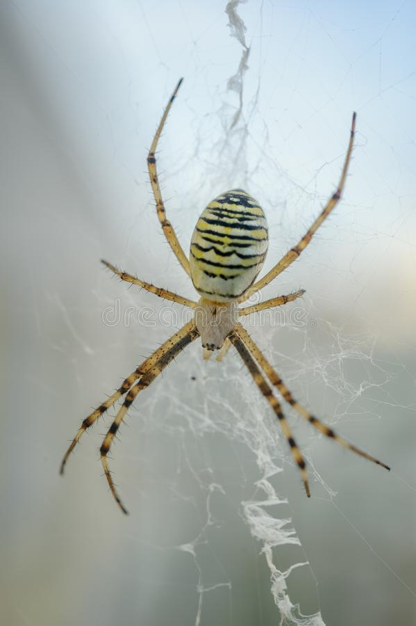 Wespspin - Argiope-bruennichi Close-up orb-Web spin stock foto