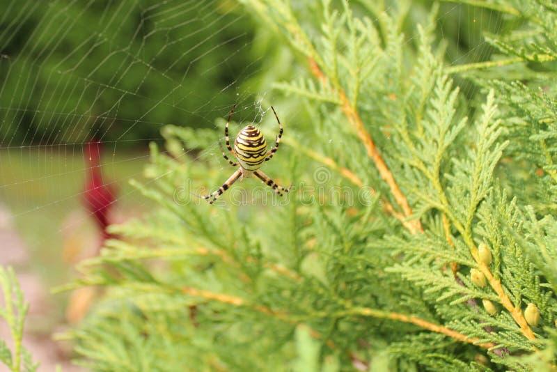 Wespspin in de tuin stock afbeelding