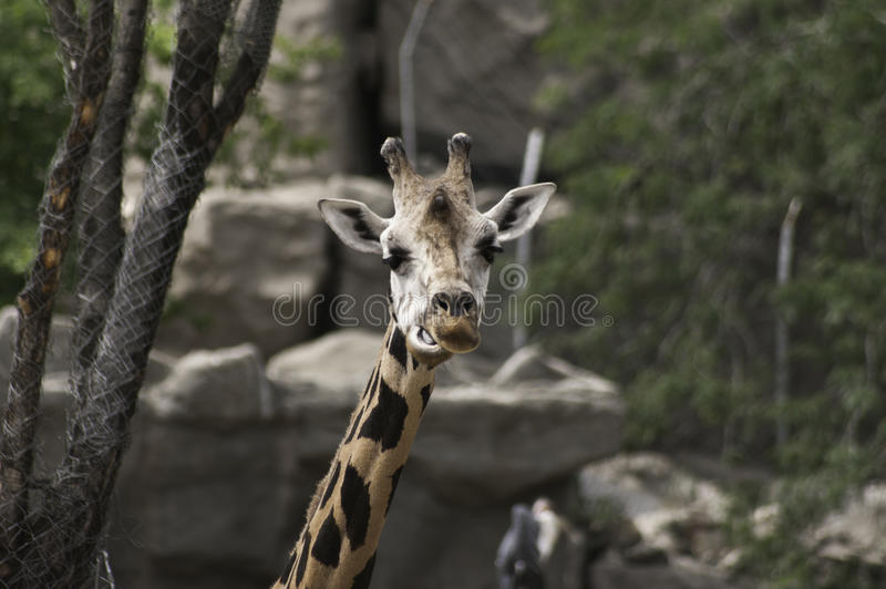 Download West African Giraffe Stock Photo Image Of Camelopardalis
