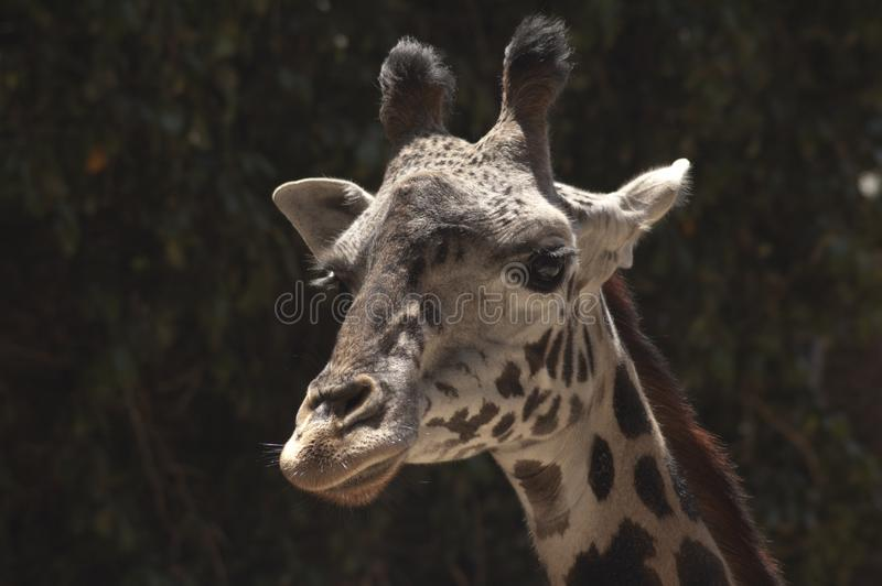 Cute West African Giraffe in profile at Los Angeles Zoo stock image