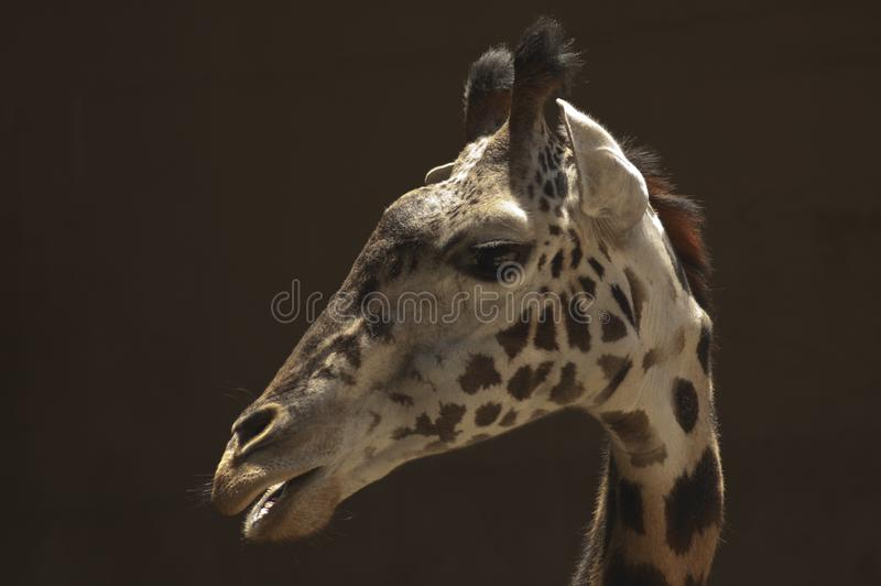 Cute doe-eyed West African Giraffe - Los Angeles Zoo stock photography