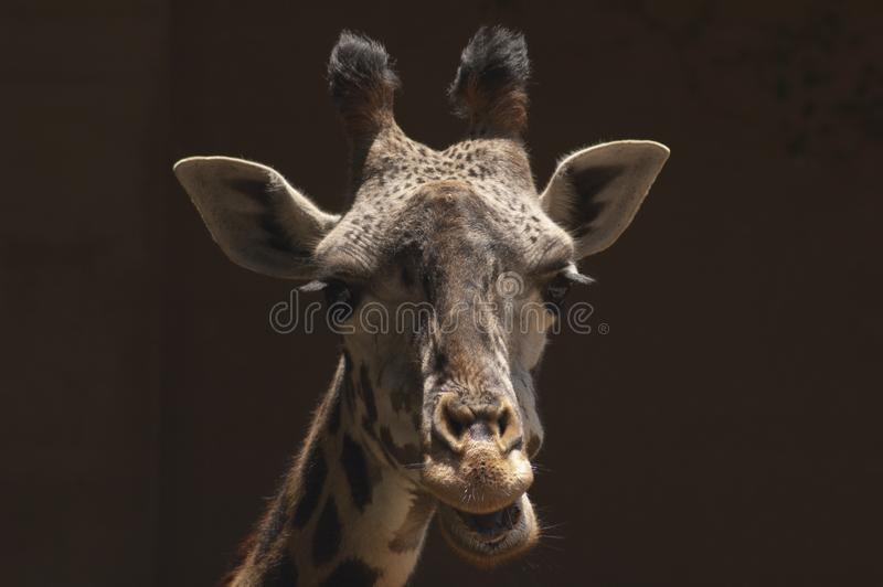 Cute West African Giraffe Chews cud at Los Angeles Zoo royalty free stock photos