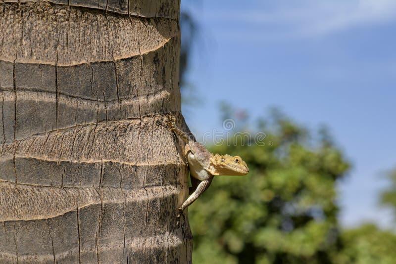 West African Rainbow Lizard - Agama africana royalty free stock image