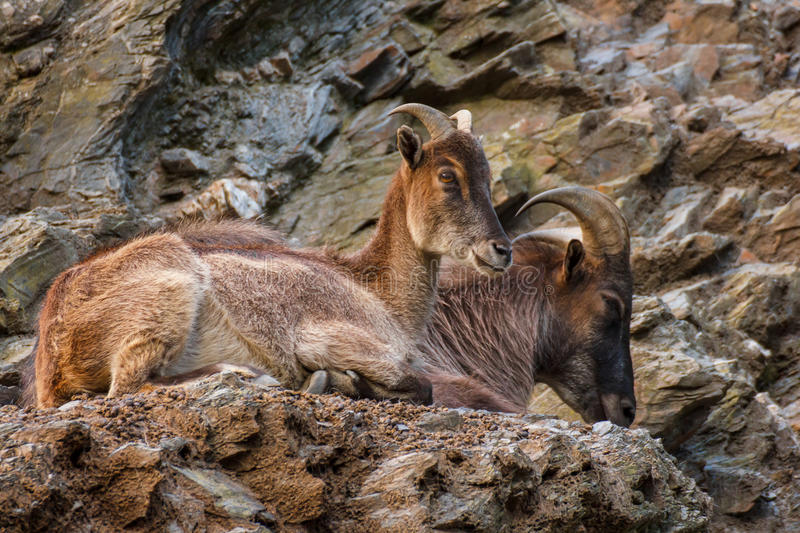 The West Caucasian tur. ( Capra caucasica ) is a mountain-dwelling goat-antelope found only in the western half of the Caucasus Mountains range royalty free stock photo