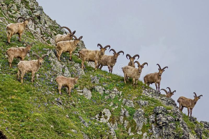 West Caucasian tur is a mountain-dwelling goat-antelope found only in the western half of the Caucasus Mountains stock photos