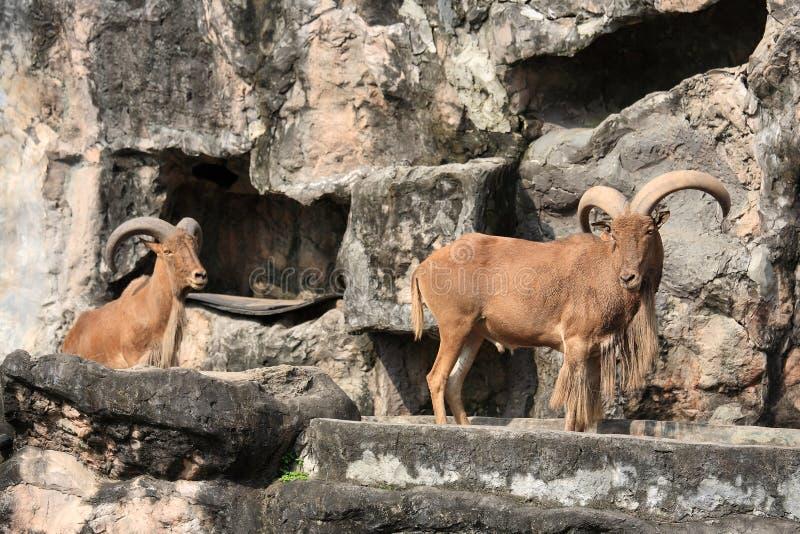 West caucasian tur goats stock photography