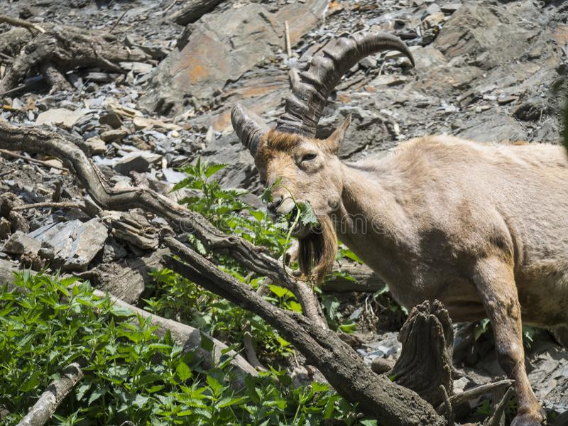 West Caucasian Tur male on a close up portrait. A rare and endangered ungulate species living in Asian mountains. Capra royalty free stock photography