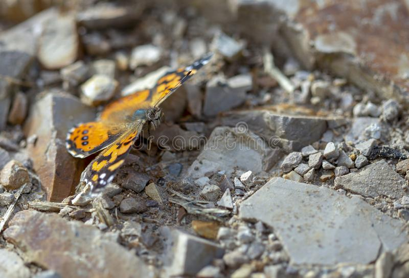 West Coast lady butterfly resting on a stoned road stock image