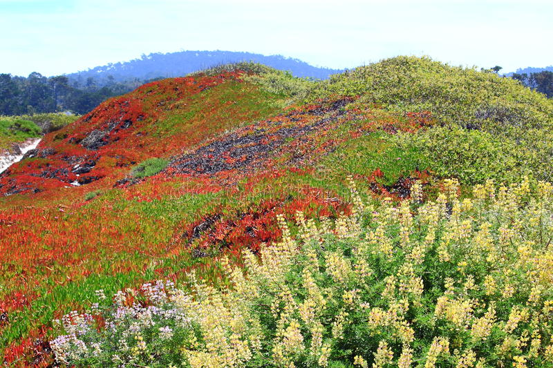 West Coast Wild Flower. West coast land in California covered with red ice plants and wild flowers stock photos