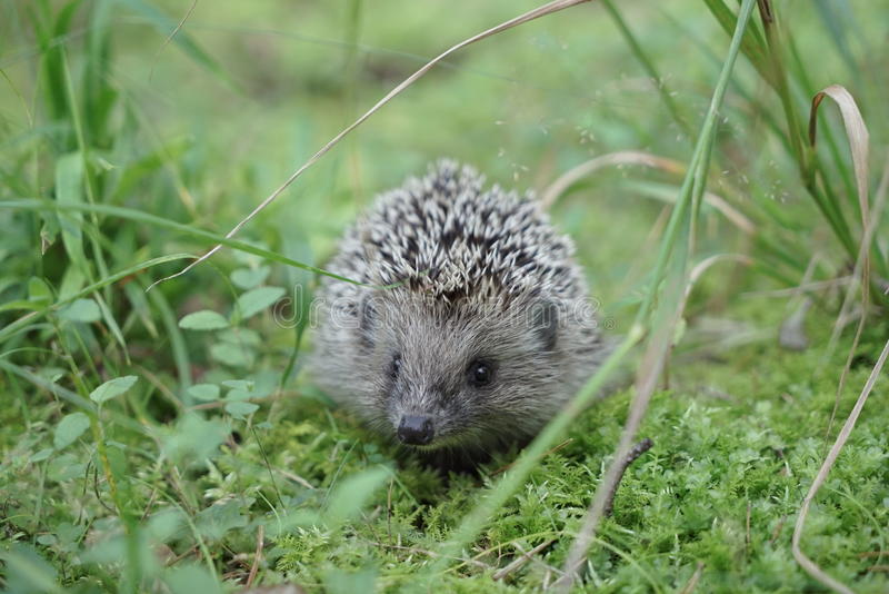 West european hedgehog on a green meadow stock photos