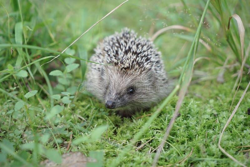 West european hedgehog on a green meadow stock image
