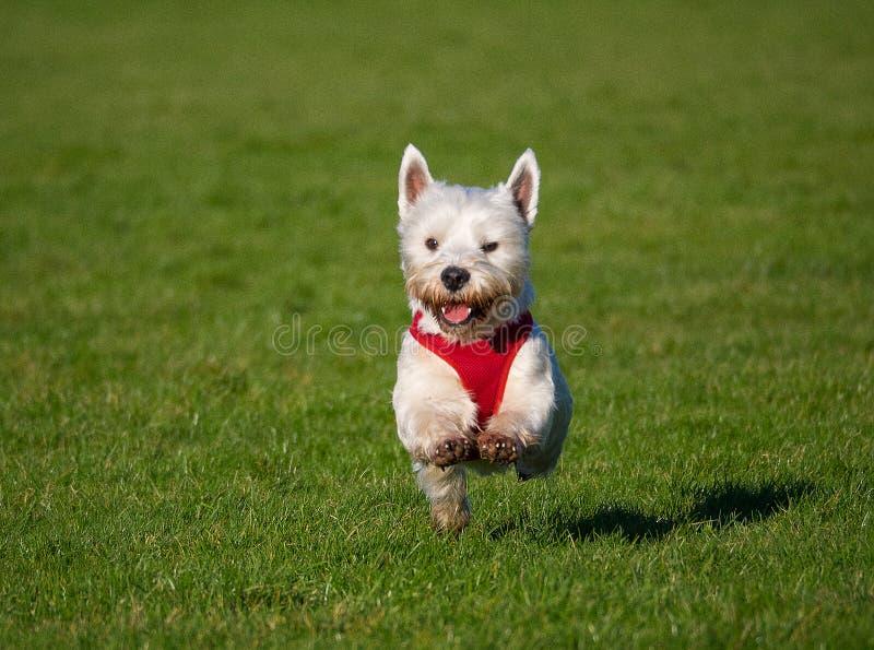 West Highland Terrier fotografie stock libere da diritti