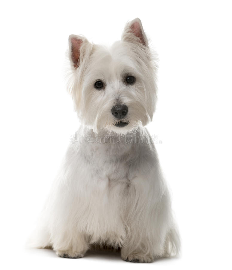West Highland Terrier bianco (bambino di 1 anno) immagine stock