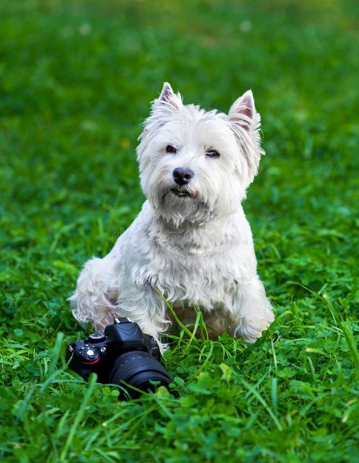 West Highland Terrier bianco e macchina fotografica fotografia stock libera da diritti