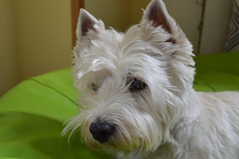 West Highland Terrier bianco sull'allarme Westy Natura, cane, animale domestico, ritratto immagine stock