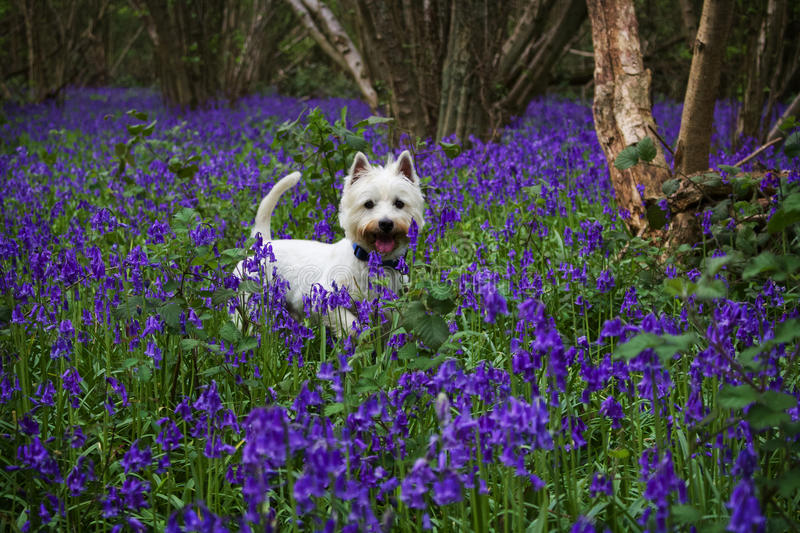 West Highland Terrier in Bluebell Woods. A photograph taken of a West highland White Terrier whilst on a walk through woods, surrounded by bluebells royalty free stock photo