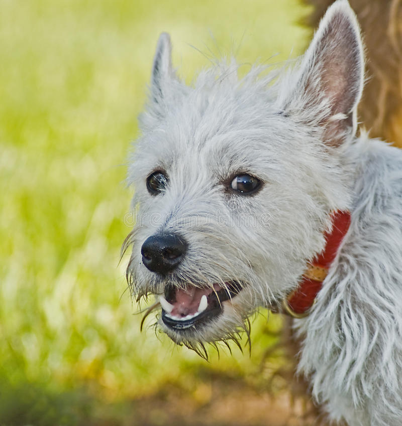 West highland terrier dog portrait outdoors. West highland terrier posed outdoors with a green bright backdrop royalty free stock photos