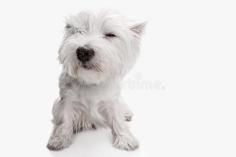West highland terrier in front of white background stock photos