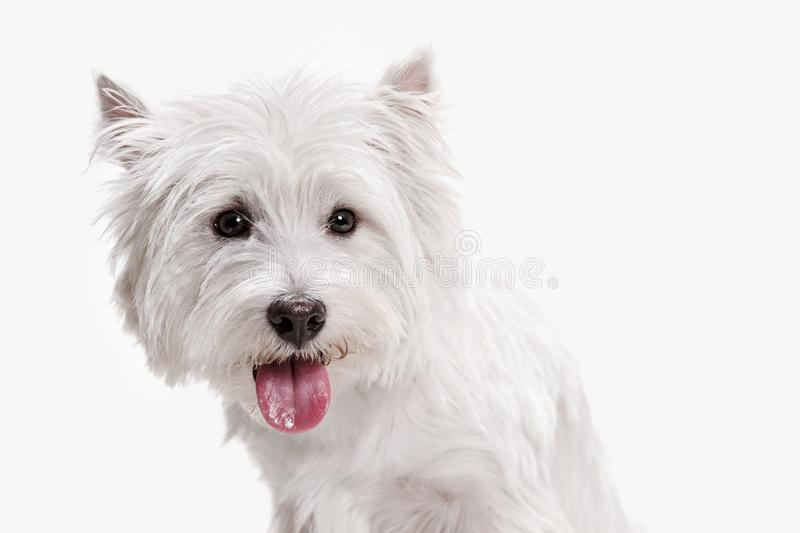 West highland terrier in front of white background. The west highland terrier dog in front of white studio background royalty free stock image