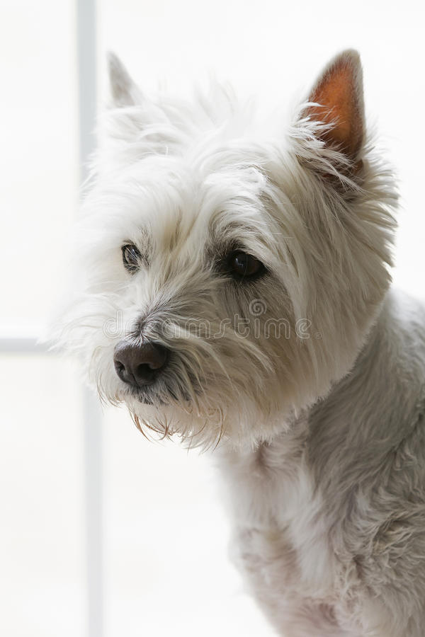 West Highland Terrier. A West Highland Terrier stands by the window ready to ward off strangers and squirrels stock photos
