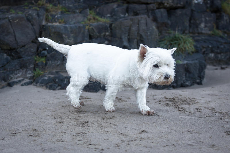 West Highland Terrier. A west highland terriers at the beach royalty free stock photography
