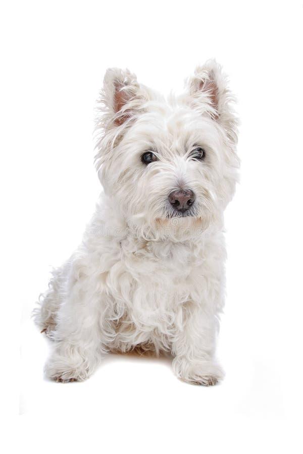 West Highland White Terrier. Isolated on white stock photo