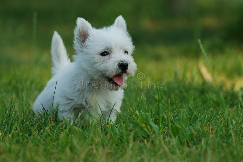 West highland white terrier 2 stock photography
