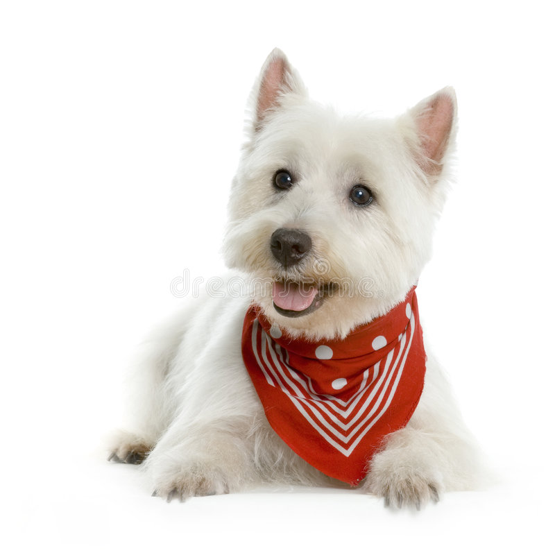 Free West Highland White Terrier Royalty Free Stock Photo - 2268705