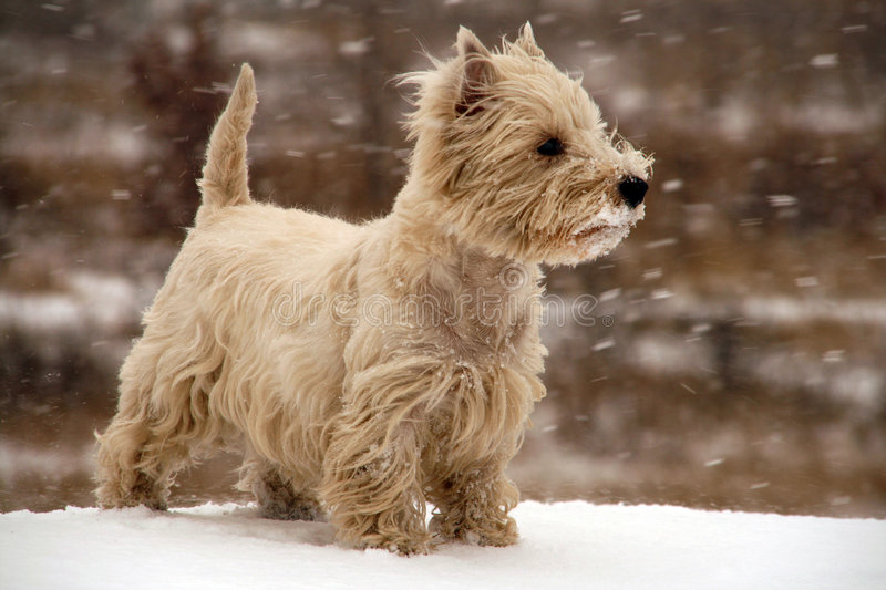 West Highland White Terrier stock images