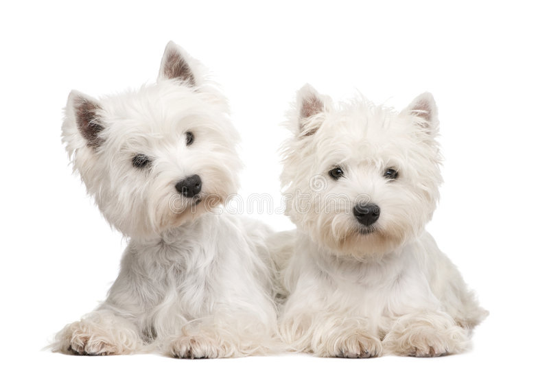 West Highland White Terrier. In front of a white background stock images