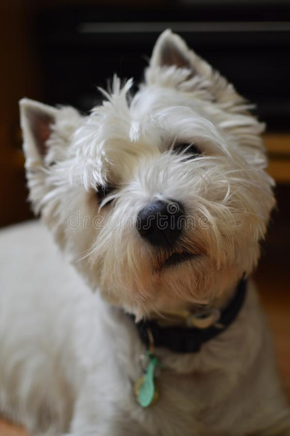 West Highland White Terrier Attentive to What You Are Saying. Westy. Nature, Dog, Pet, Portrait. royalty free stock photos