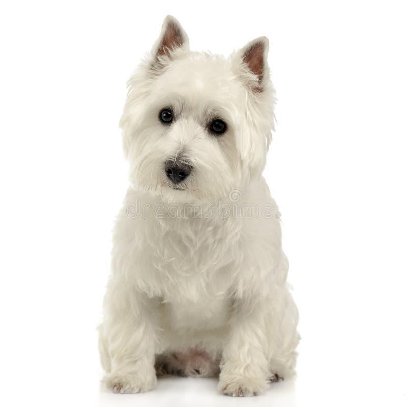 West Highland White Terrier, der auf dem weißen Studioboden sitzt stockbilder