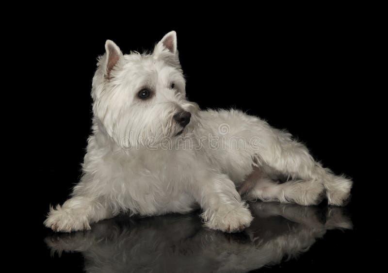 West Highland White Terrier, der in einem schwarzen glänzenden Studioboden liegt stockfotografie