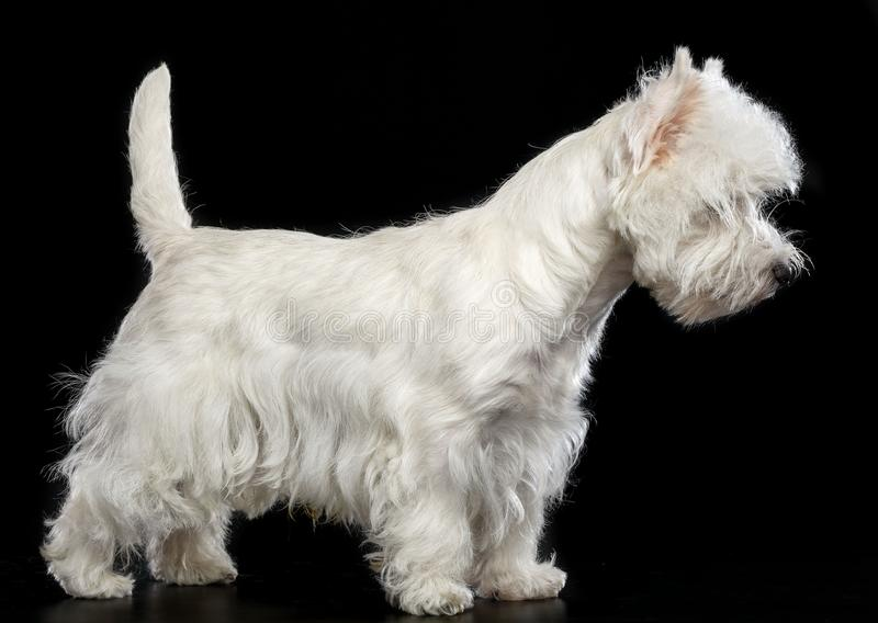 West highland white terrier Dog on Black Background. In studio royalty free stock photography