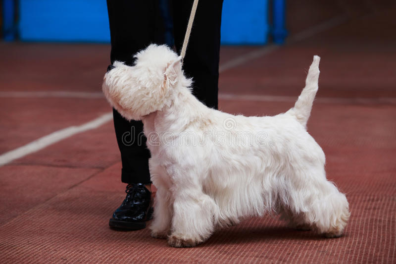 West Highland White Terrier. The dog breed West Highland White Terrier royalty free stock images