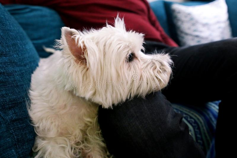 West Highland White Terrier dog enjoys company of his owner sitting on couch together and petting lovely dogs. royalty free stock photo