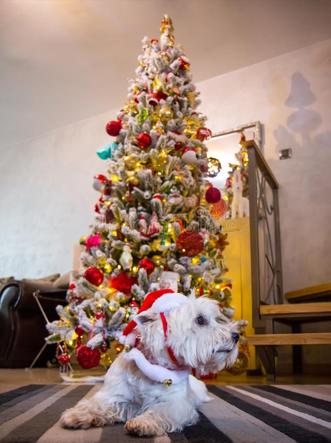 West highland white terrier dog in front of Christmas tree stock photography