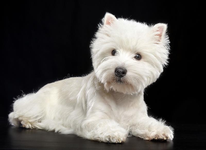 West highland white terrier Dog Isolated on Black Background. In studio royalty free stock image