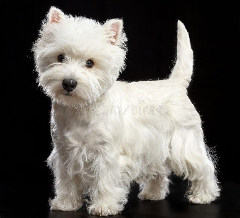 West highland white terrier Dog Isolated on Black Background. In studio royalty free stock photo