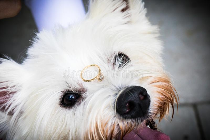 White Terrier with wedding ring stock image