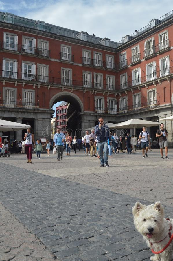 West Highland White Terrier Enjoying A Beautiful Autumn Day On The Main Square Dating In The Sixteenth Century Of Madrid. Architecture, History, Travel stock images