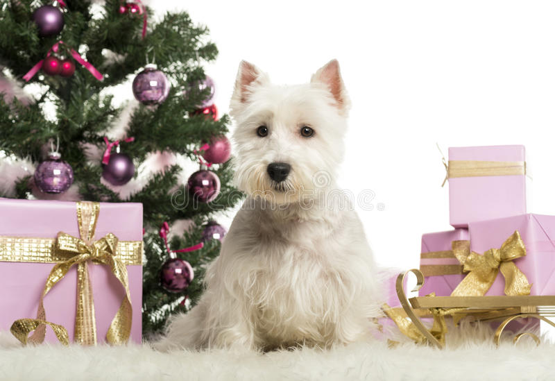 West Highland White Terrier in front of Christmas decorations stock image
