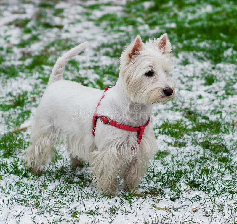 West Highland White Terrier royalty free stock image