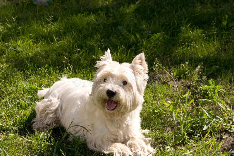 The West highland white Terrier on a green lawn.  stock photos