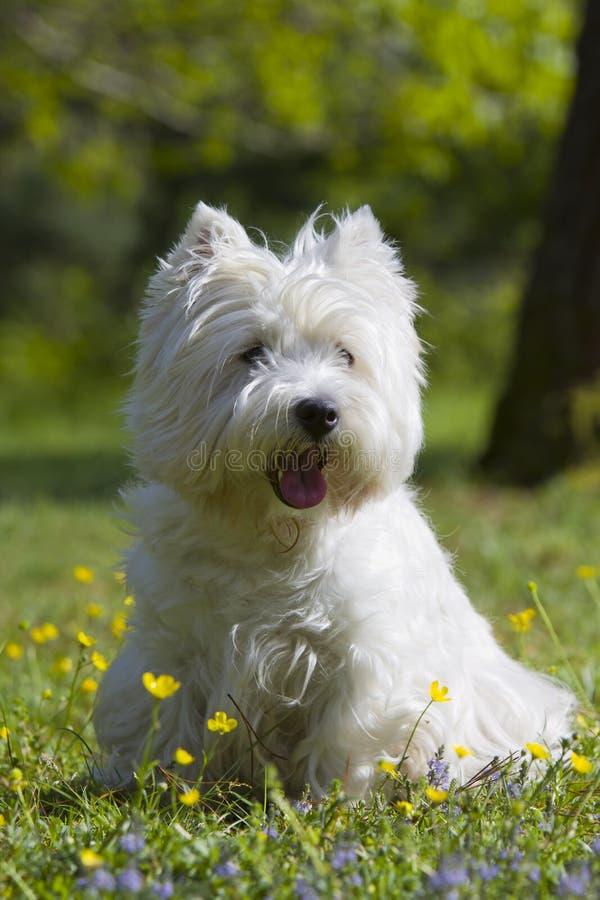 West Highland White Terrier im Freien stockfotos