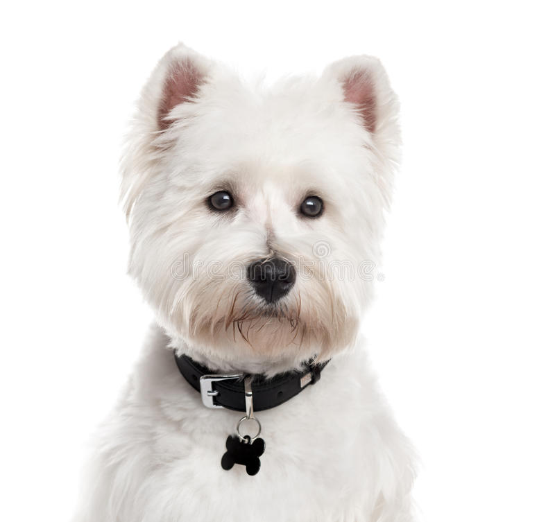 West Highland White Terrier, isolated on white. Close up of a West Highland White Terrier with a collar looking away, isolated on white (1 year old royalty free stock images