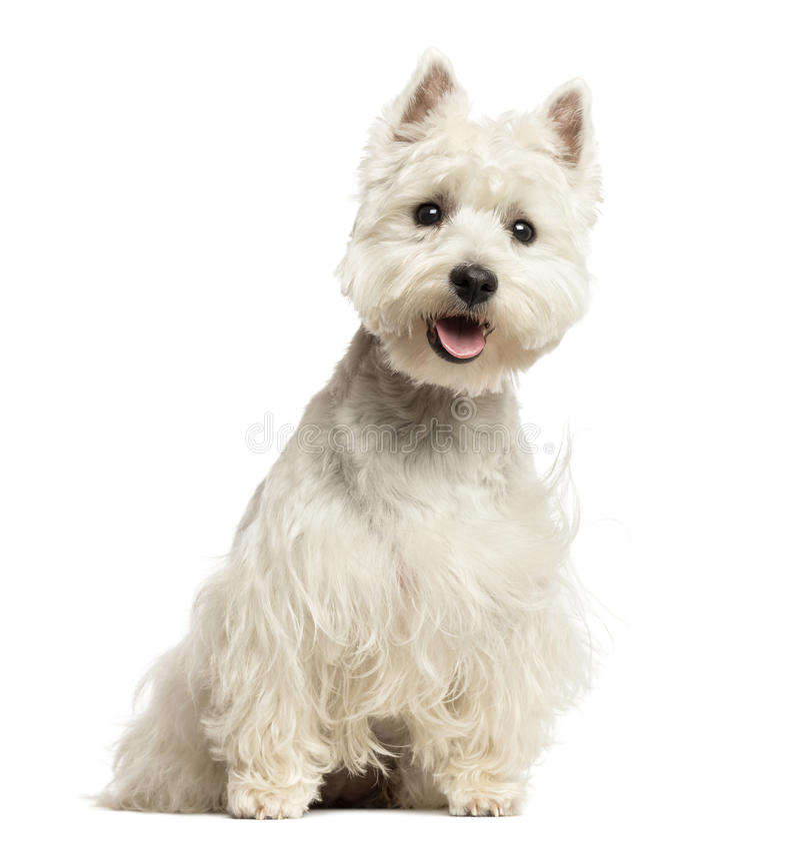 West Highland White Terrier-Keuchen, sitzend, 18 Monate alte lizenzfreie stockfotografie
