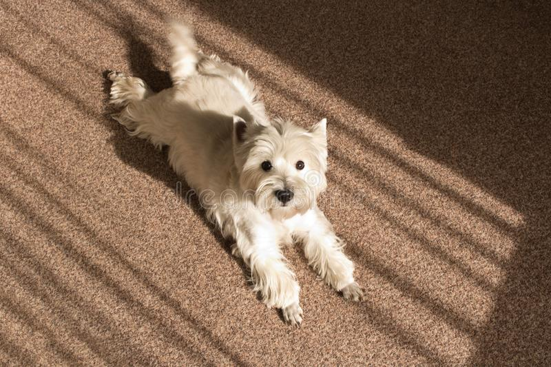 West highland white Terrier lies at home on the carpet.  stock photos