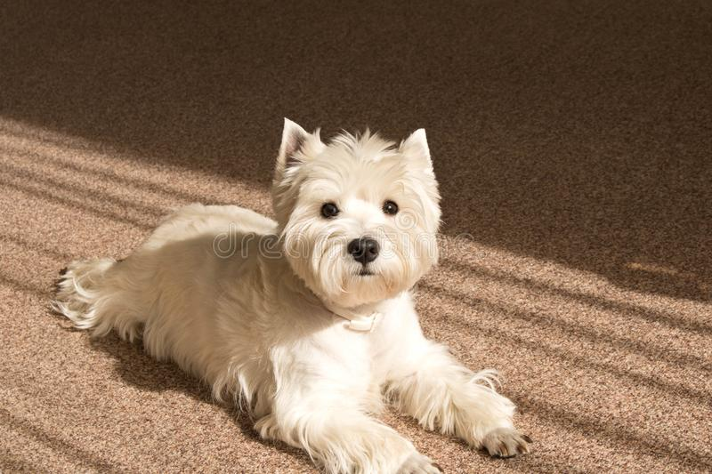 West highland white Terrier lies at home on the carpet.  royalty free stock photos