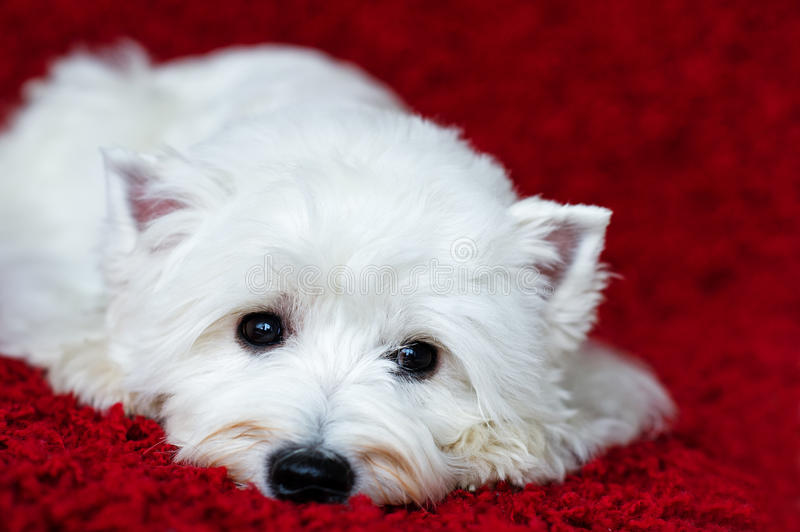 West highland white terrier. Lying down on red carpet and looking lonely stock images